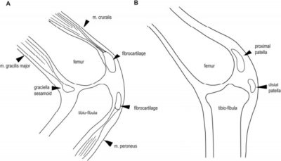 Rodilla de rana vs. de avestruz